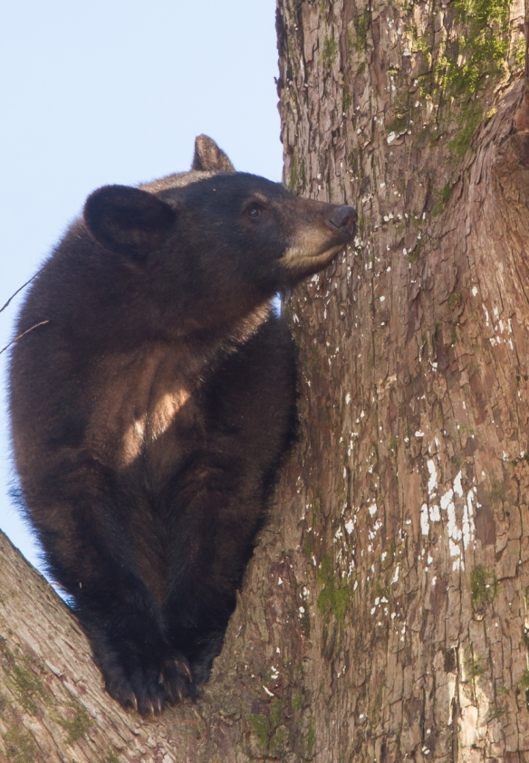 black bear in tree 6