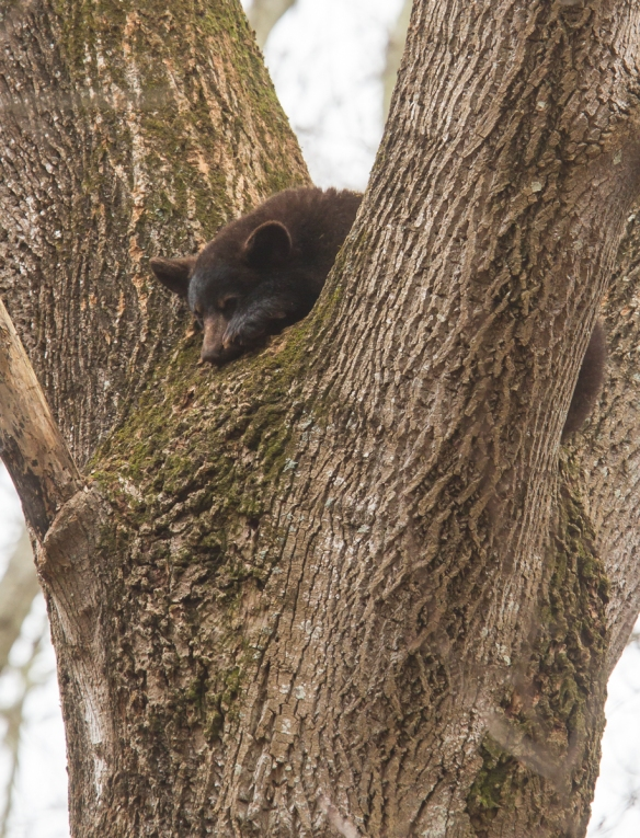 Black Bear sleeping in tree