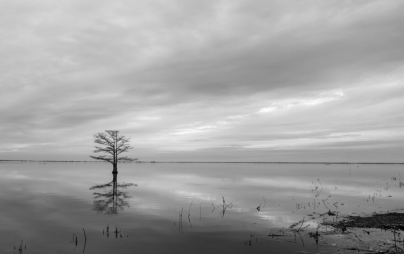 Cypress tree in Lake Mattamuskeet