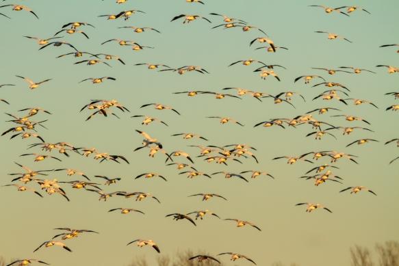 Flock flying into field 1