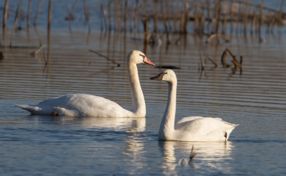 Mute and Tundra Swans