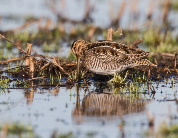Snipe and reflection 1