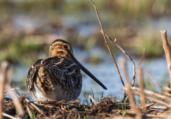 Snipe from behind