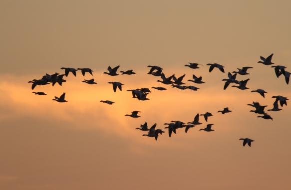 Snow Geese againt sunset sky