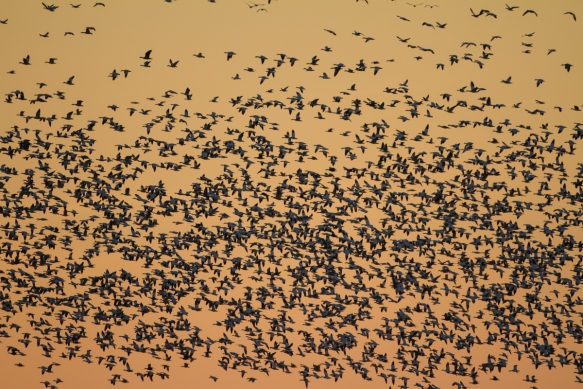 Snow Geese at sunset across field