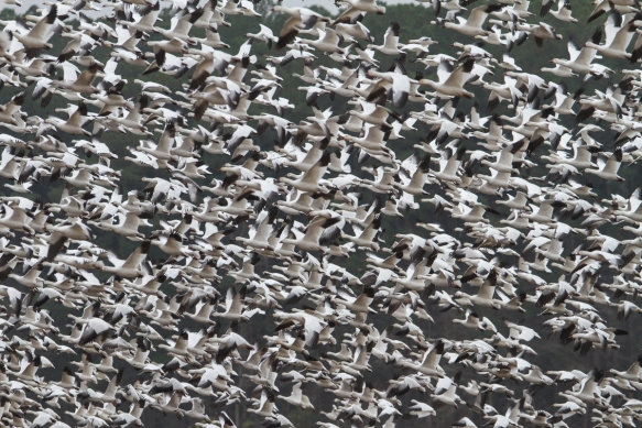 Snow Geese blasting off from field