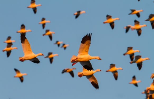 Snow Geese coming into field at sunset 2