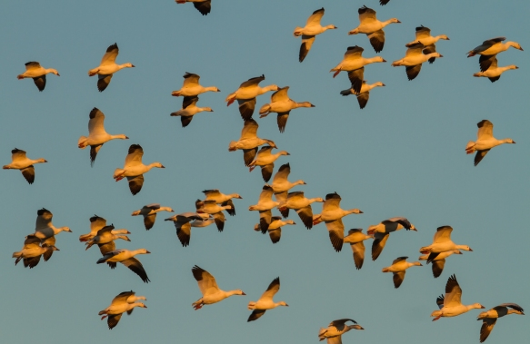 Snow Geese coming into field at sunset