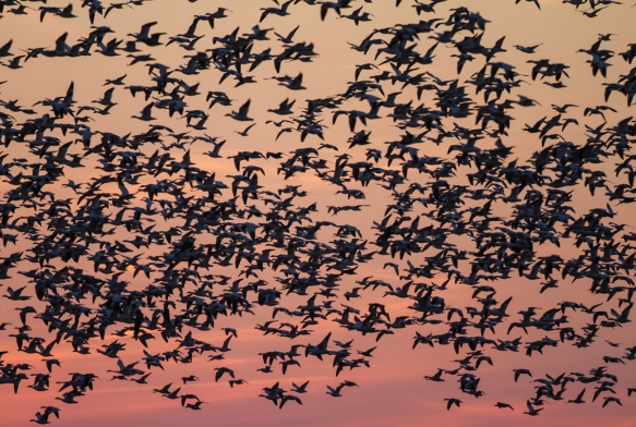 Snow Geese flying closer at sunset