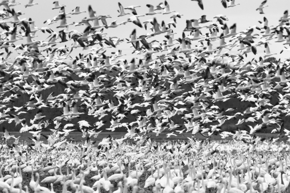 Snow Geese flying over field full of swans