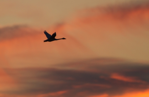Swan flying at sunset