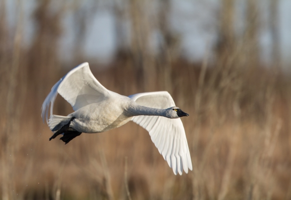 Swan flying low