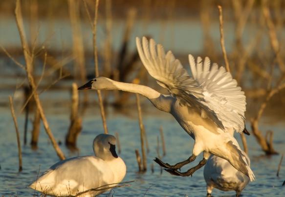 Swan landing 2