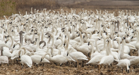 Swans bunched together in corn field