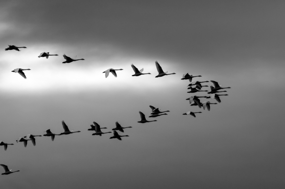 Swans flying against a rain-laden sky