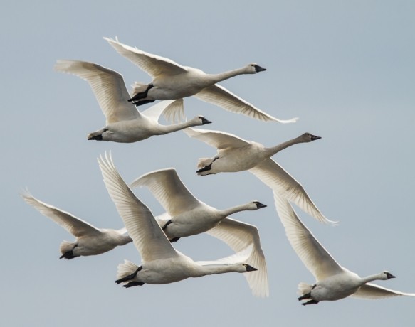 Swans flying in tight formation