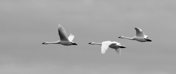 Swans on a gray morning
