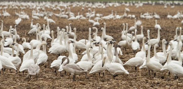 Swans scattered in corn field
