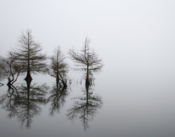 Tree silhouettes in fog