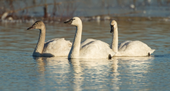 Tundra Swan adults and young