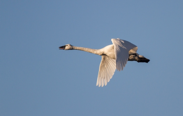 Tundra Swan flying 1
