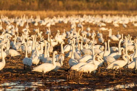 Tundra Swans in field