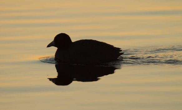 American Coot at sunrise