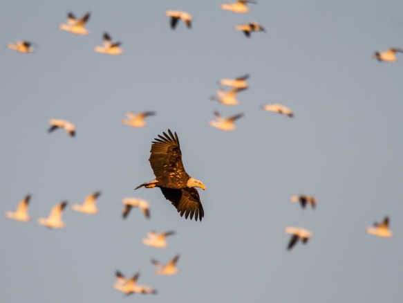 Bald Eagle and potentil prey