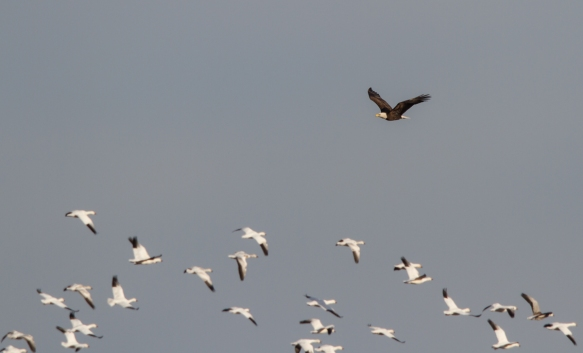 Bald Eagle flushes Snow Geese 1