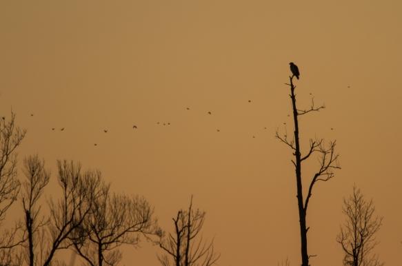 Bald Eagle in dead tree at sunrise