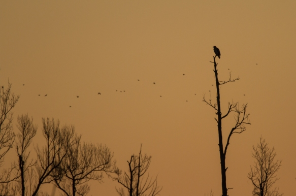 Bald Eagle in dead tree at sunrise