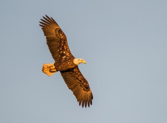 Bald Eagle in golden light
