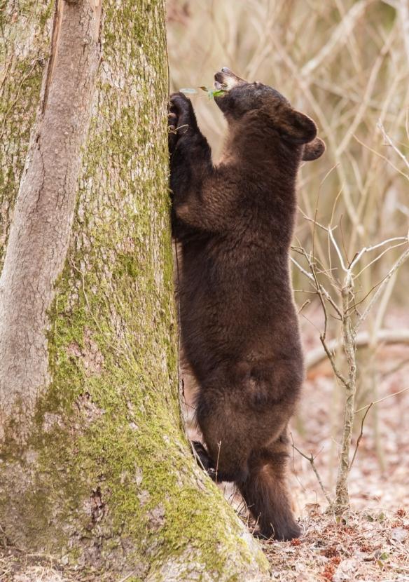 Bear puling at Cross Vine 1