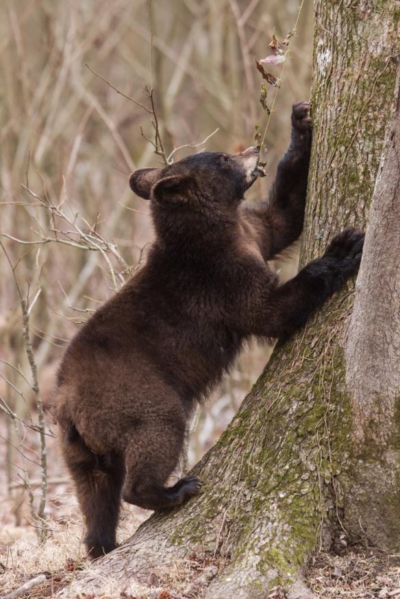 Bear puling at Cross Vine 3