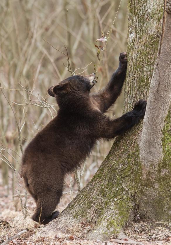 Bear puling at Cross Vine 4