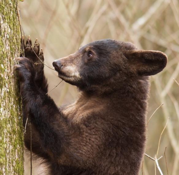 Bear puling at Cross Vine close up