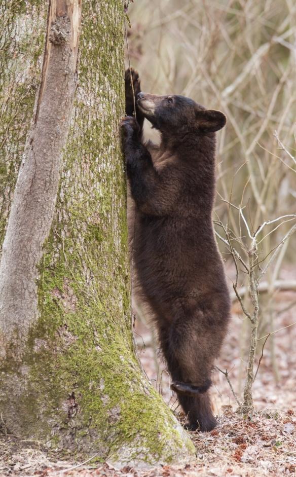 Bear puling at Cross Vine