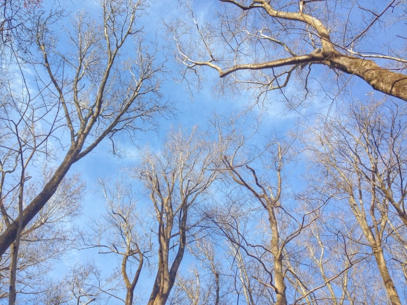 Looking up through the trees at Pungo