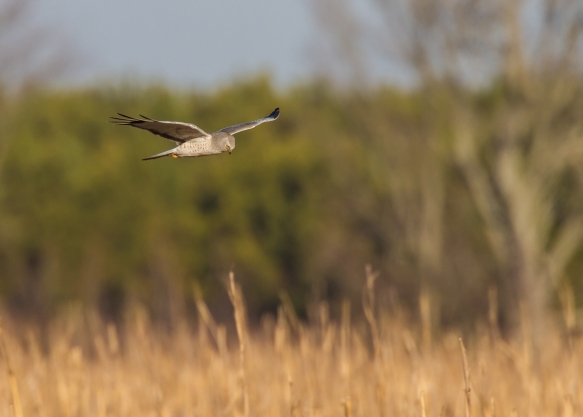 Male Northern Harrier criusing for a meal