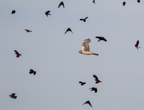 Northern Harrier and potential prey