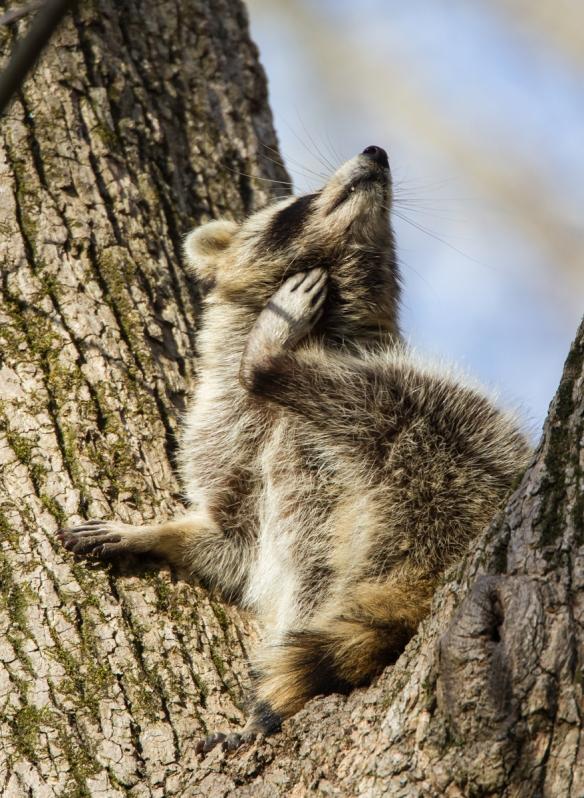 Raccoon scratching 1