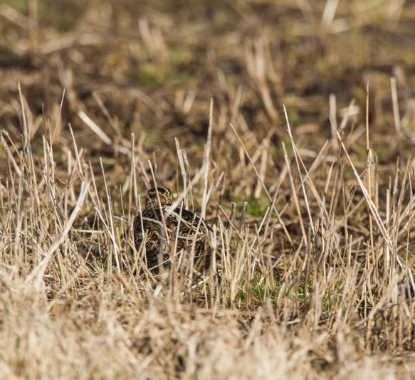 Snipe hidden in grass
