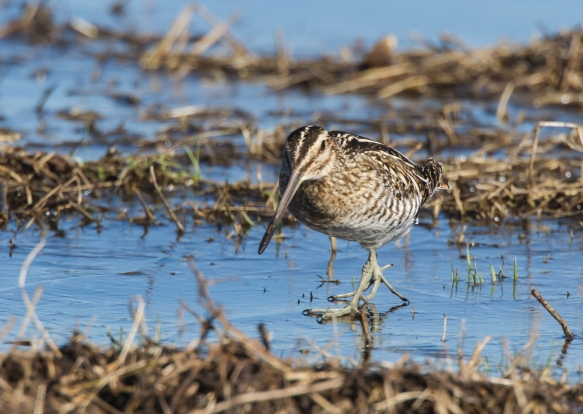 Snipe walking on ice 1