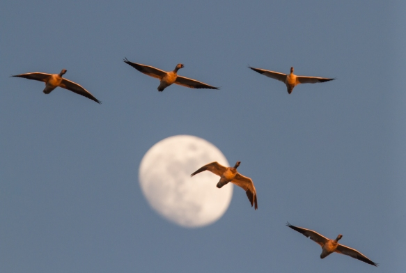 Snow Geese against moon
