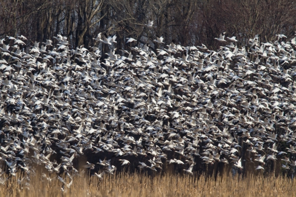Snow Geese blasting off from corn field