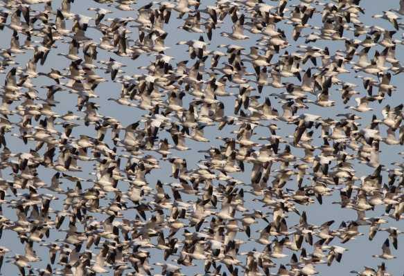 Snow Geese circling the field