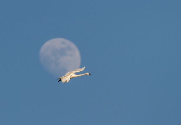 Swan against moon