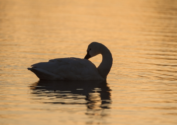Swan at sunrise in Marsh A preening 1