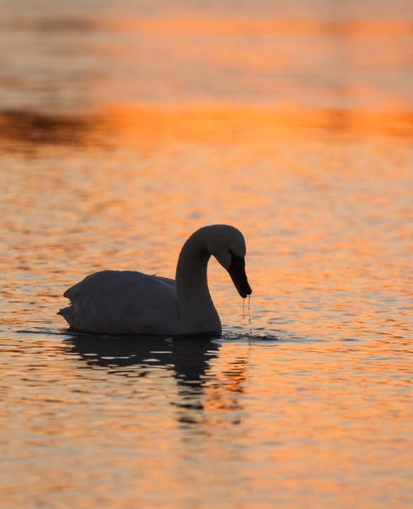 Swan at sunrise in Marsh A
