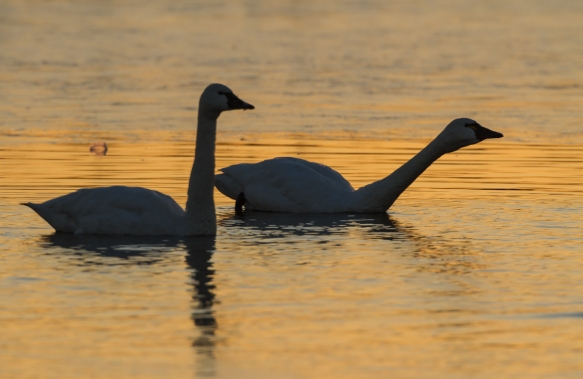 Swan challenging another nearby group at sunrise